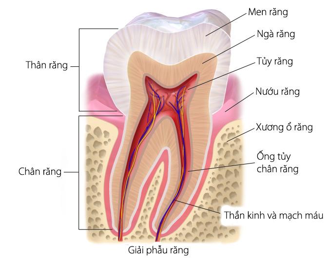 Tủy răng sẽ được bao bọc kín bên ngoài bởi các ngà răng và men răng