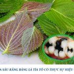 Chữa sâu răng bằng lá tía tô có thực sự hiệu quả?